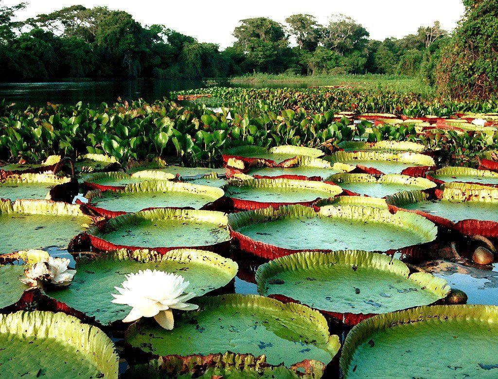 Vegetação Amazônia